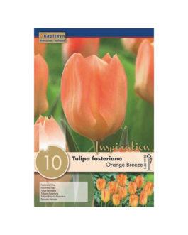 Bolsa Tulipán fosteriana Orange Breeze
